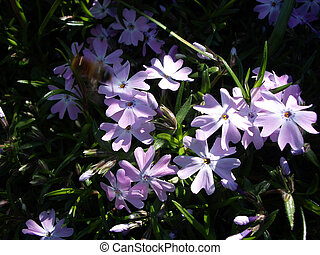 Phlox flower 2