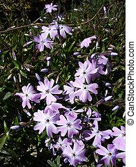 Phlox flower 3
