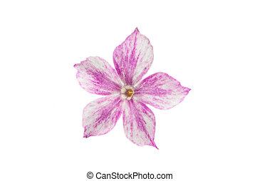 phlox flower isolated