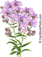Phlox Flowers Isolated on White Background. Vector illustration