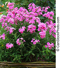 phlox, (garden, paniculata, phlox), flor
