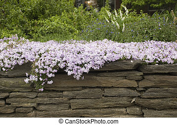 Phlox Over Wall - Lavender phlox drapping over a stone wall.