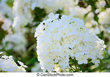 Phlox paniculata. It was taken by Japan in the summer.