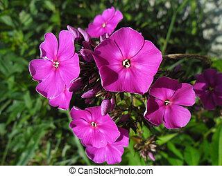 Phlox paniculata - ornamental plant.