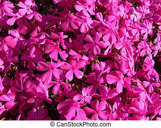 Phlox - Phlox douglasii, common name tufted phlox or Columbia phlox, closeup, dark pink cultivar on a stone wall, beautiful garden in spring