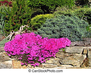 Phlox - Phlox douglasii, dark pink cultivar on a stone wall, beautiful garden in spring