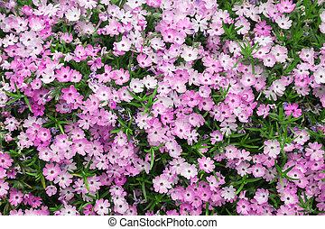 Phlox - Pink creeping phlox, a colorful addition to any ...