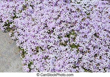 Phlox. - Pink phlox subulata. Background of flowers phlox.
