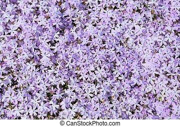 Phlox. - Pink phlox subulata. Background of flowers phlox ...