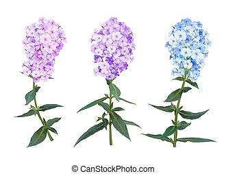 Beautiful Spring Phlox flower. Set of three inflorescence light pink, lilac and blue colors isolated on white background. Vector illustration