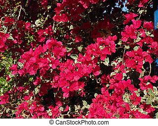 phlox subulata flowers background