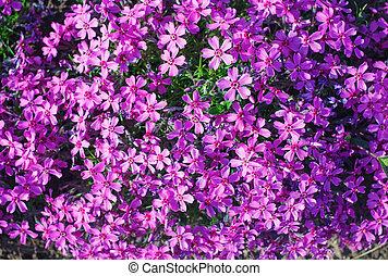 Phlox subulata flowers
