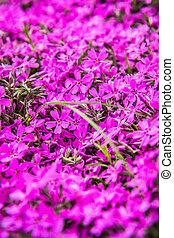 Phlox subulata plant