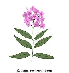 Phlox vector flower isolated illustration