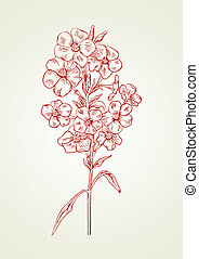 Vector phlox in vintage engraving style for greeting card.