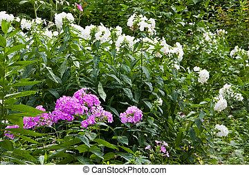 Phlox - white and purple phlox in a garden