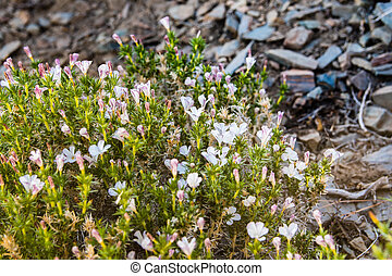 Phlox wildflowers blooming on the slopes of the Panamint mountain range, Death Valley National Park, California