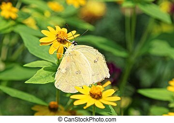 Phoebis philea aka Orange Barred Sulphur butterfly - Phoebis...