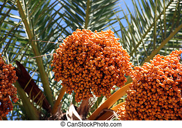 phoenix, albero, su, dactylifera, palma, chiudere