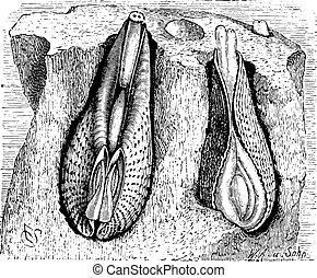 pholadidae, engraving., ouderwetse