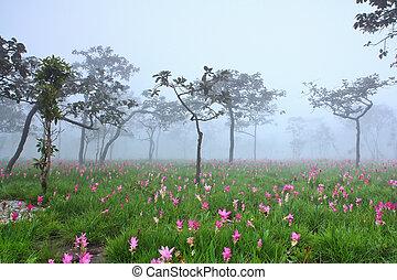 phoom, 野生, シャム, 花, 咲く, チューリップ, ジャングル, chaiya