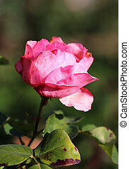 photo beautiful pink rose