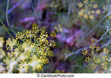 Photo flowering dill in the garden