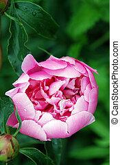 photo flowers peonies