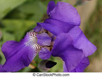 photo, glaïeul, closeup, jardin, violet