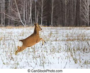 Photo hunting for deer (Capreolus). Winter forest.
