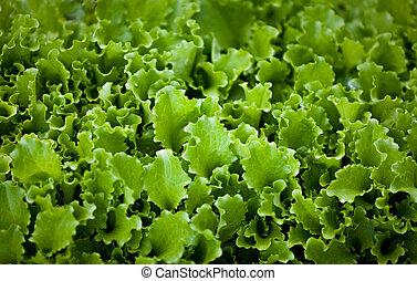 photo, jardin, lit, salade verte