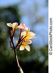 Photo macro beautiful frangipani