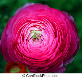 Photo of a beautiful huge pink flower