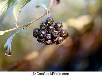 Photo of a black mountain ash on a blurry pictorial...