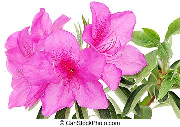 blooming purple azalea flower