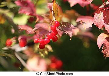 Photo of a bright macro red viburnum