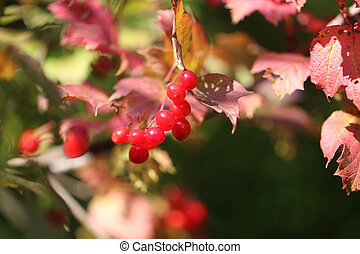 Photo of a bright macro red viburnum