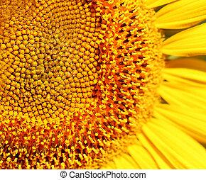 Photo of a bright macro sunflower