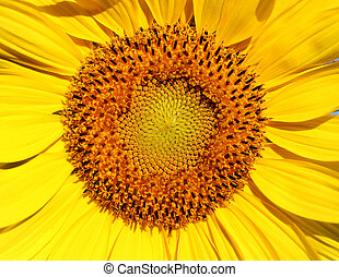 Photo of a bright macro sunflower