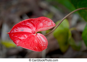 Anthurium Ozaki - Photo of a bright red leaf of a Anthurium...