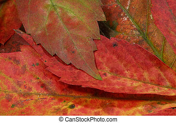 Autumn Leaves - Photo of a Browning Autumn Leaves - Autumn...