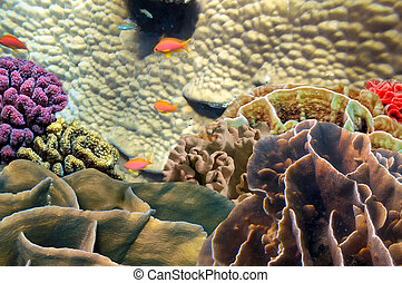 Photo of a coral colony on a reef, Red Sea