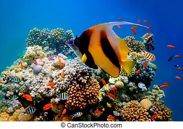 Photo of a coral colony on a reef top and Pennant coralfish