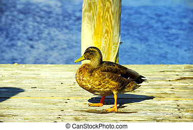 Duck on a Deck
