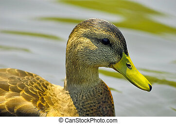 Duck - Photo of a Duck