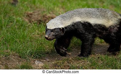 photo of a honey badger walking along a bath