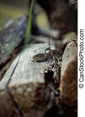 lizard - Photo of a lizard lying on the logs. Picture taken...