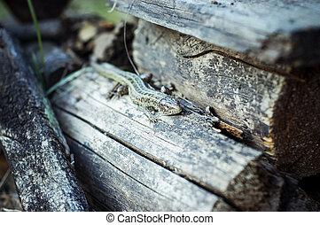 lizard - Photo of a lizard lying on the logs. Picture taken...
