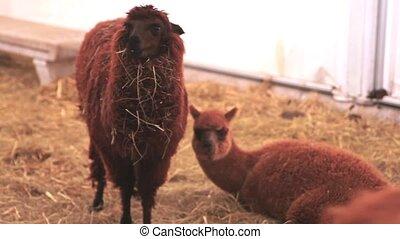 Llama - Photo of a nice Llama in the farm