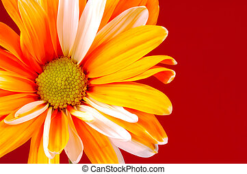 Painted Daisy - Photo of a Orange Painted Daisy